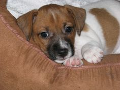 Shorty Jack Russell Terrier Puppies Brown and White