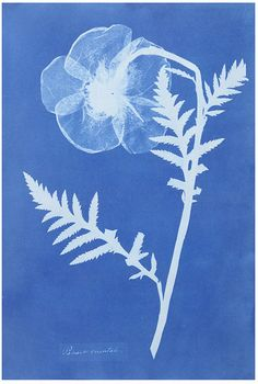 This is a Cyanotype by photographer Anna atkins, Its actually a  poppy and it was labelled as ' Cyanotypes of British and Foreign Flowering Plants and Ferns (1854)', So im guessing Anna had a whole project surrounding this.