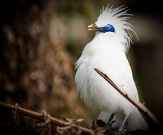 Scientific American visits Nusa Penida to see the endangered Bali Starling