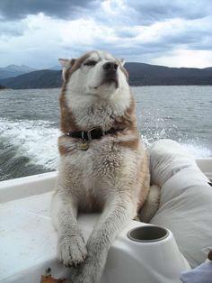 husky on a boat