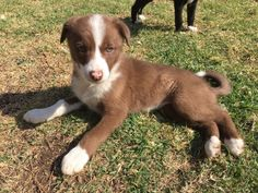 https://www.gumtree.com.au/s-ad/kingsthorpe/dogs-puppies/border-collie-cross-kelpie-pups/1160001596 #bordercollie