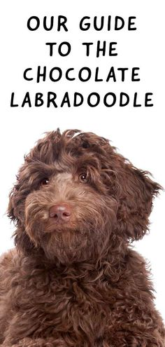 Chocolate Labradoodle - Fun Facts & Top Tips - Your Favorite Brown Dog