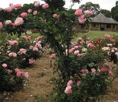 "Rose "" Strawberry Ice "" , (DELbara) , bred by G. Delbard (France, before 1971) , ( "" Happy Anniversary "" , "" Bordure Rose® "" )"
