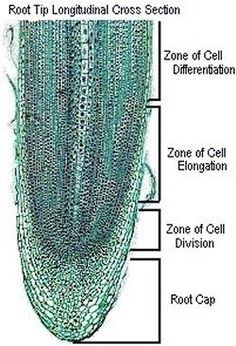 Root - longitudinal cross section. A microscopic view of growing tip of a plant root.