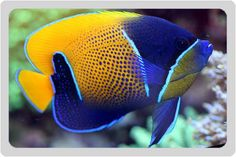 CORAL TRIANGLE_blue girdled angelfish