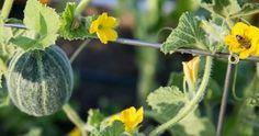 Inmultirea capsunilor Salvia, Sun, Plant, Sage