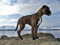 chien de race boxer bringé