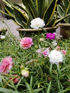 Portulaca Flowers, Flower Plants, Planting Flowers, Ice Plant, Girl Hijab, Beautiful Flowers, Garden Ideas, Projects To Try, Gardening