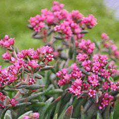 Crassula sarcocaulis, Fairy Pink