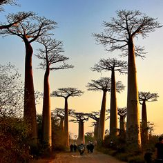Baobab Forest, Morondava, Madagascar reminds me of the petit prince lol Places Around The World, Oh The Places You'll Go, Places To Travel, Places To Visit, Around The Worlds, Parks, Cap Vert, Baobab Tree, Adventure Is Out There