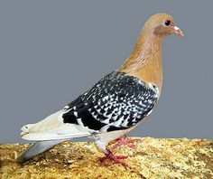 List of Pigeon Breeds Rare Birds, Exotic Birds, Colorful Birds, Pigeon Pictures, Bird Pictures, Pictures Of Doves, Cute Pigeon, Pigeon Bird, Racing Pigeon Lofts