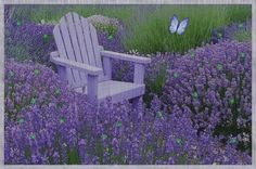 Lavender plants are beautiful perennial evergreen plants that hails from southern Europe. There are a number of types of lavender plants that you can choose from. Lavender Blue, Lavender Fields, Lavender Plants, Lavender Flowers, Lavender Scent, Flowers Garden, Beautiful Gardens, Beautiful Flowers, Beautiful Dream