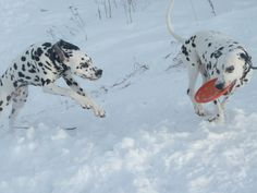 Dalmatians. Lika (left) and her a mother Gloria