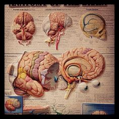 brain disection