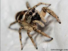 Jumping spiders have a charming appearance.  They are a beneficial indoor spider since they kill fleas, mites, moths and are no danger to pets or people.