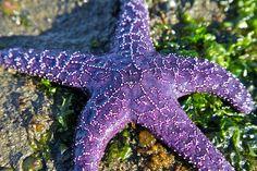 Purple Starfish, Vancouver Island