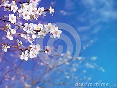 Springtime tree branch with white flowers on the blurred blue sky background. Plum blossom.