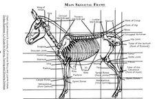 Skeletal of the Donkey. Courtesy: The National Miniature Donkey Association (NMDA) Rome, NY (USA).