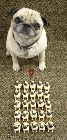 Pug and his mini army! #pugs