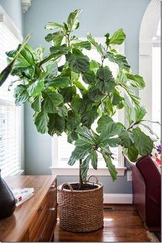 How I Care for My Fiddle Leaf Fig(Ficus Lyrata) - design addict mom Ficus, Indoor Trees, Indoor Plants, Plantas Indoor, Baumgarten, Fiddle Leaf Fig Tree, Decoration Plante, Pot Plante, Interior Plants