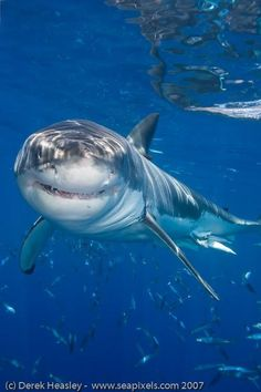 The ultimate shark diving adventure for sport divers! Meet Great White and Pacific Blue Sharks when you dive beneath the waters in our special shark-viewing cage off Isla Guadalupe, Mexico. Orcas, Animals Beautiful, Beautiful Creatures, Save The Sharks, Shark Diving, Whale Sharks, Shark Bait, Water Animals, Great White Shark