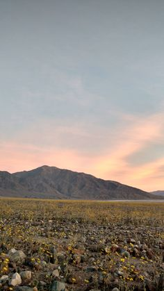 """Superbloom"" of wild flowers, Death Valley, CA"