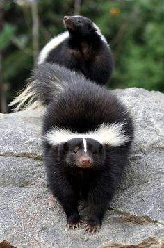 The Striped skunk (Mephitis mephitis) is an omnivorous mammal of the skunk family Mephitidae. Found north of Mexico, it is one of the best-known mammals in Canada and the United States.