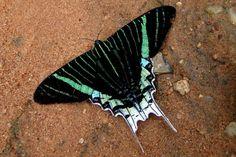 Algumas mariposas podem ser parecidas com borboletas. Essa, do gênero Urania é diurna e possui cores vibrantes - Foto: Fábio Paschoal
