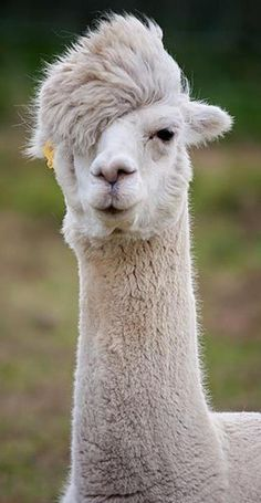 Quel look avec cette raie sur le côté ! / What a look with that line on the side. / Alpaca. / Alpaga.