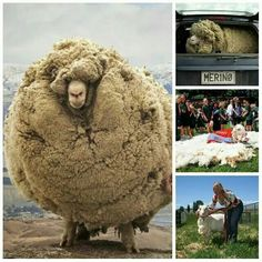 Shrek The Runaway Sheep Is A Shear Celebrity Funny Sh T