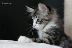 Juni 2016 Cats, Animals, Norwegian Forest Cat, Gatos, Animales, Animaux, Animal, Cat, Animais