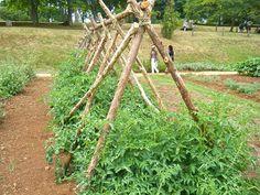 Tomato stakes - Monticello Garden my favoritest garden in all the world Tomato Trellis, Tomato Garden, Garden Trellis, Garden Beds, Vegetable Garden, Garden Club, Thomas Jefferson, Permaculture, Tomato Stakes