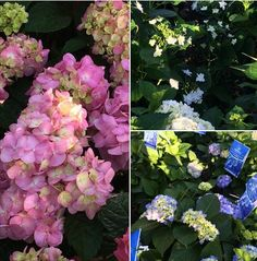 For Mom.... Just what she wants! Hydrangeas in every color!  Call us at (903) 597-7421 Online at www.breedlovelandscape.com  #hydrangeas #hydrangea #mothersday #motherdsday2016 #2016mothersday #flower #flowers #spring #springtime #springishere #breedlovelandscape #tylertx #tylertexas #tyler #texas