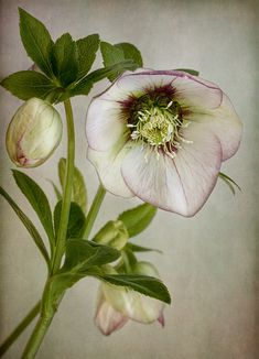 ~Hellebore by Mandy Disher~~ (Lenten Rose) ~ textured photo. Exotic Flowers, Amazing Flowers, Beautiful Flowers, Flowers Gif, Lenten Rose, Christmas Rose, Botanical Art, Garden Projects, Amazing Gardens