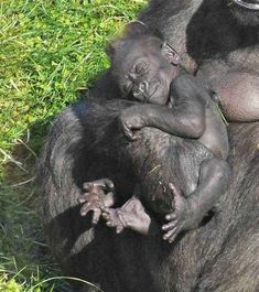gorillas with babies | Baby Gorilla Smiles for the Camera at Twycross Zoo