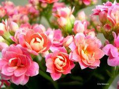 Flor-da-Fortuna é uma das Flores Que Suportam o Sol Forte