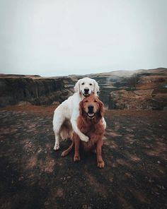 Golden Retriever Puppies Brothers Credit - can you guess? - Please check Animals And Pets, Baby Animals, Funny Animals, Cute Animals, Cute Puppies, Cute Dogs, Dogs And Puppies, Doggies, Beautiful Dogs