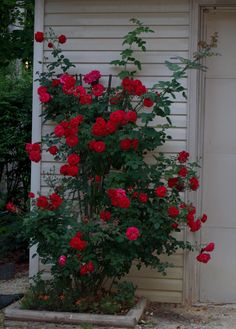 'Ramblin' Red' Rose