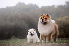 Chow Chow Dog Breed Facts & Information Chow Dog Breed, Chow Chow Dogs, White Chow Chow, Brown Puppies, Fluffy Puppies, Chow Chow Branco, Wag Dog Walking, Dog Breed Selector, Baby Animals