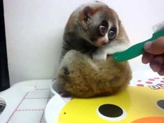Endangered Slow Loris looks like an adorable anime character. How stinkin' adorable! Slow Loris, All About Animals, Anime Dolls, Cutest Thing Ever, Mans Best Friend, Beautiful Creatures, Mammals, Anime Characters, Puppy Love