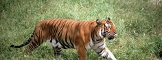 The South China Tiger. Critically Endangered. This tiger has been hunted relentlessly since the 1950s, when its population was thought to number in the thousands. In 1996 scientists estimated that there could be as few as 30 individuals left in the dwindling areas on forest. Scientist hold no hope for the continuation of the species in China after having no sightings of the animal for 25 years, but movements are being made to reintroduce this beautiful creature to other protected habitats…