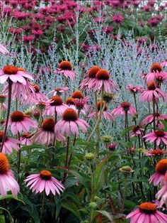 PINK and PURPLE;  Echinacea and Russian Sage have the pink need the purple - will start looking