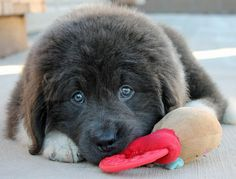 Omgawd!! How cute is this puppy?! > Gandalf the Newfoundland Pictures