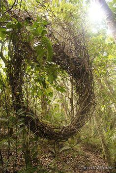 Nid de lianes à Waiheke Island #Auckland #Nature #Forêt http://www.breizh-zelande.fr/waiheke-island-sauvage/