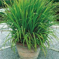 Lemon Grass (for mosquito repellent potted plant arrangement)