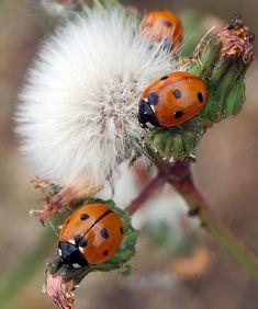 Ladybirds   by Drop in !!