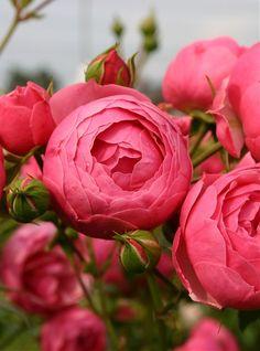 ~Floribunda Rose: Rosa 'Pomponella' (Germany, 2005)