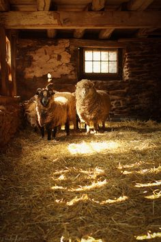 Love the old barn! <3<3 And the sheep of course. :-)