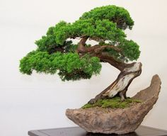 Bonsai - nice shape