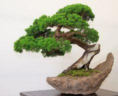 Bonsai - nice shape